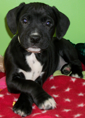 american bulldog lab mix puppy american bulldog lab mix puppies 4097